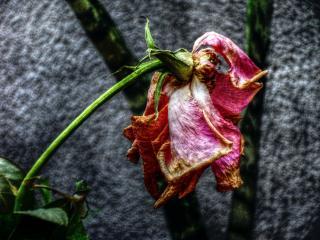 Rosa seca e triste. Imagem: Free Pik.